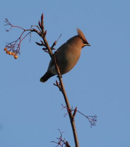 Waxwing-perched