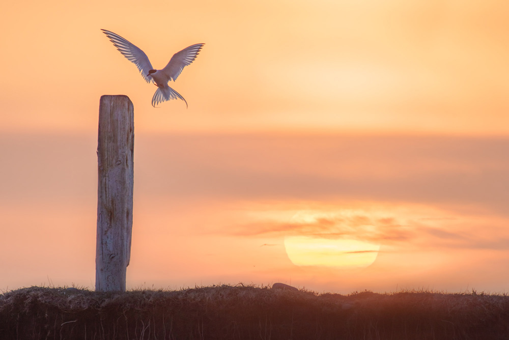 bird landing on fence post with sunset backdrop