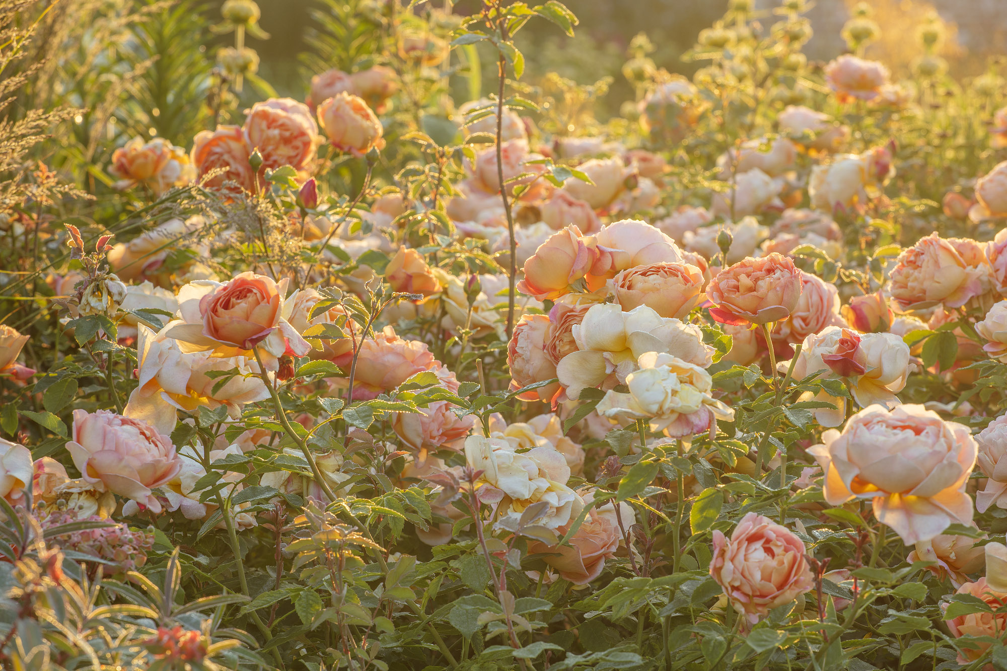 WYNYARD HALL, COUNTY DURHAM: ROSA LADY OF SHALLOT, DAVID, AUSTIN, ORNAGE, FLOWERS, FLOWERING, ROSES, FRAGRANT, SCENTED, PERFUMED, AROMATIC