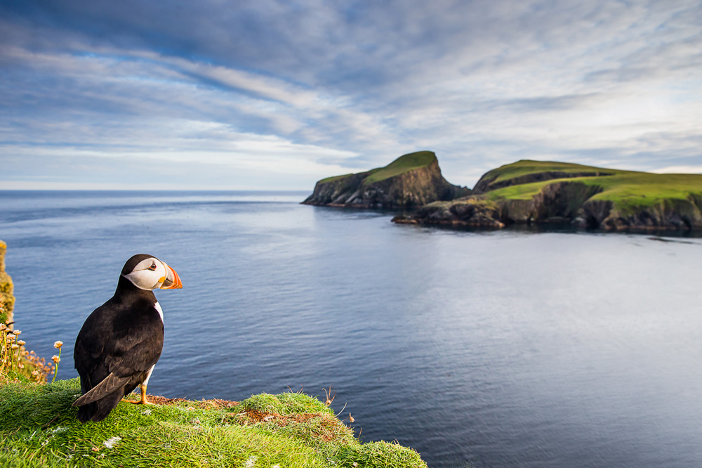Puffin on the edge of a cliff looking out to sea
