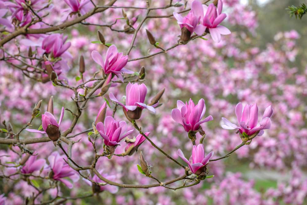 close up of pink flowers on tree